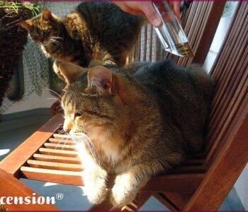 Ascension-Tiere-Katzen-Calming-XL-rahmen-III