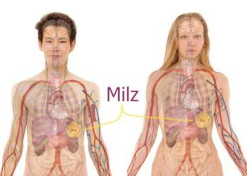 Milz-Organ-Koerper-Veranschaulichung