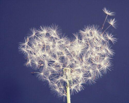 Pusteblumen-Harz-dandelion-5063527